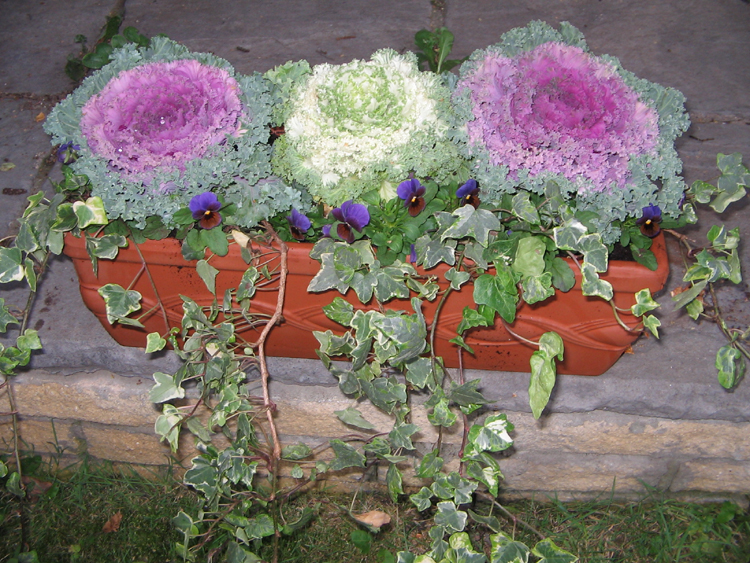 ornamental-cabbages