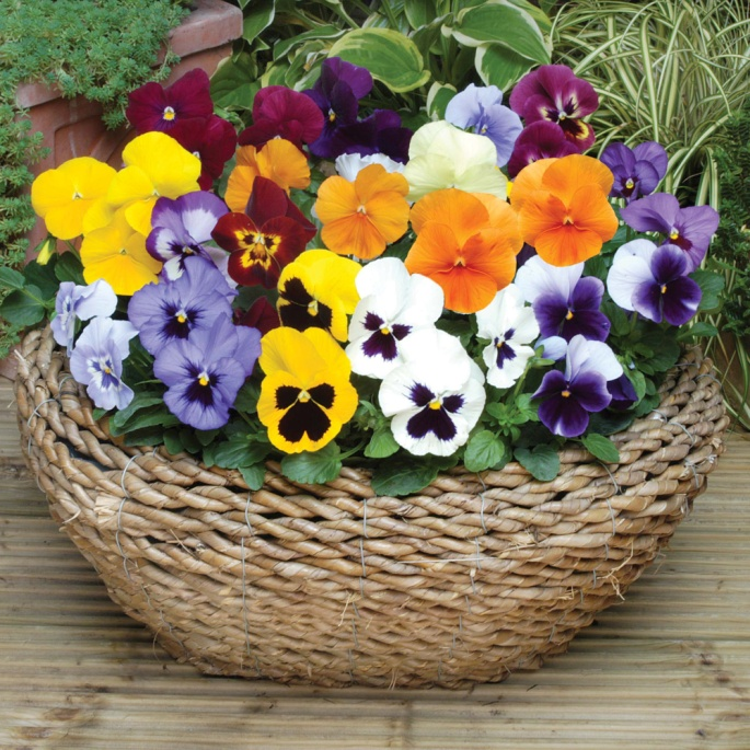 winter-pansies